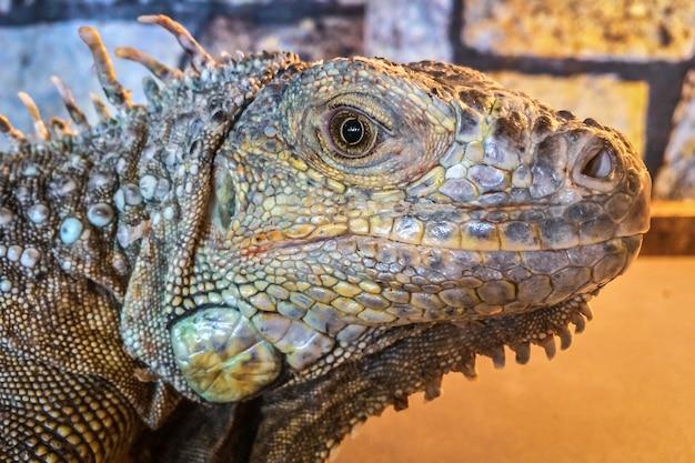 Cabeça de iguana de perto