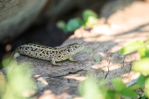 Cabeça de lagarto fêmea, foto macro da cabeça de lagarto fêmea, lacerta agilis