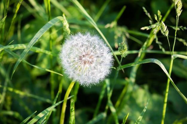 Cabeça-de-leão fofa no fundo da grama verde, close-up.