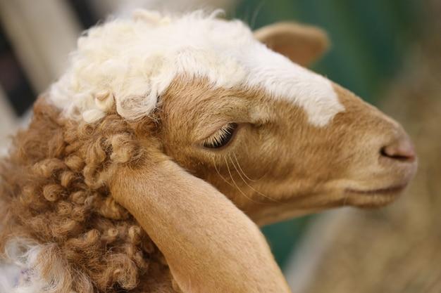 Cabeça de ovelha marrom