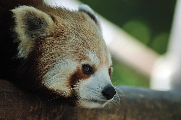 Cabeça de panda vermelho closeup tiro