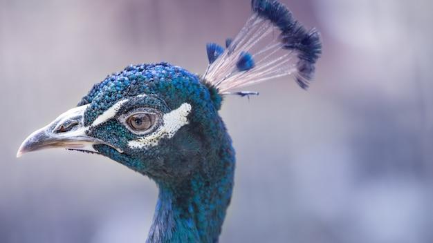 Cabeça de pássaro pavão azul