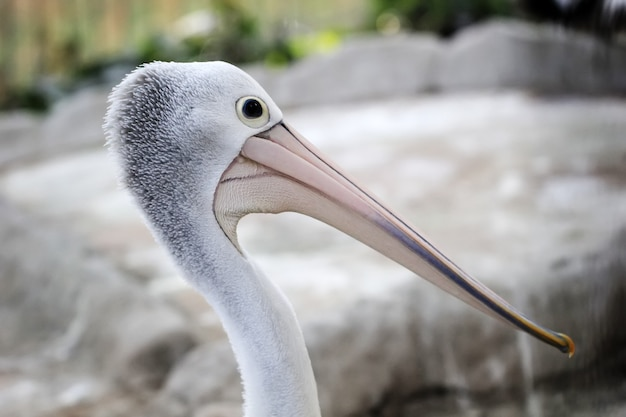 Cabeça de pelicanos australianos.