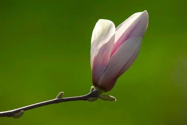 Cabeça-de-rosa claro da flor de magnólia de primavera desabrochando. botânica e flores