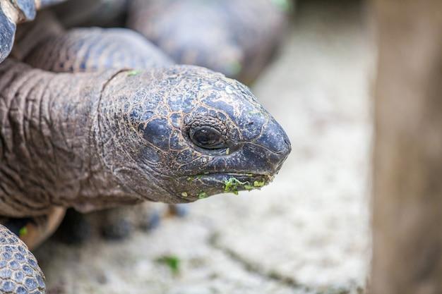 Cabeça de tartaruga de galápagos