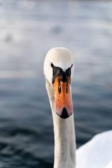 Cabeça de um cisne bonito com um fundo desfocado