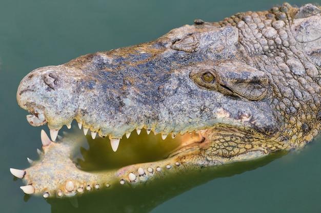 Cabeça de um crocodilo na água