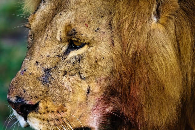 Cabeça de um grande leão. quênia, áfrica