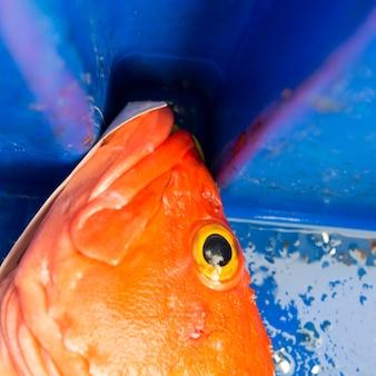 Cabeça de um peixe-rocha yelloweye, distrito regional de skeena-queen charlotte, haida gwaii, graham island,