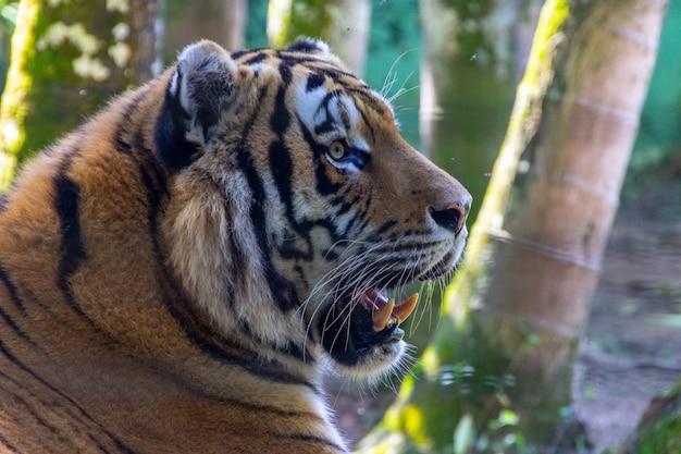 Cabeça de um tigre siberiano
