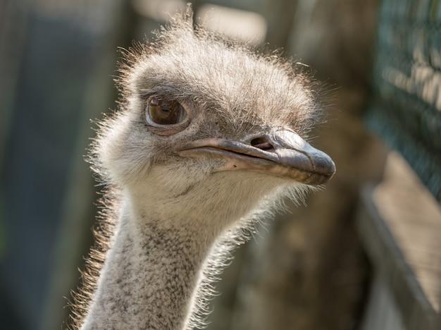 Cabeça de uma avestruz comum fêmea, struthio camelus, fim acima.