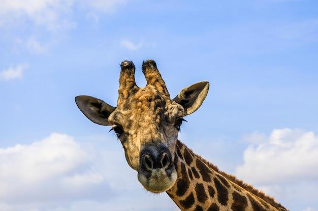 Cabeça de uma girafa no céu azul com fundo de nuvens brancas close-up.