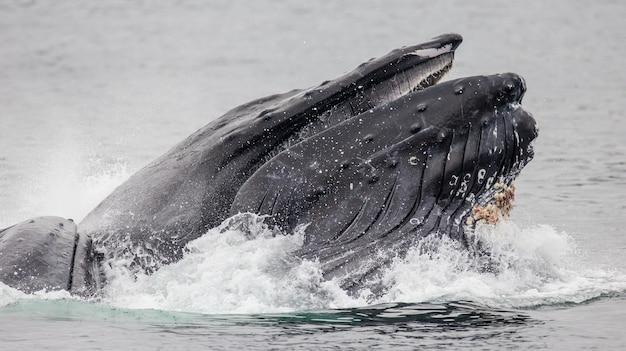 Cabeça e boca da baleia jubarte acima da superfície da água em close-up no momento da caça. área do estreito de chatham. alasca. eua.
