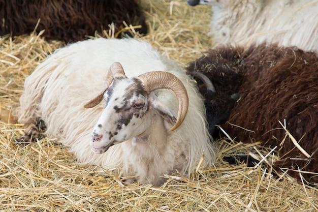 Cabeça e chifres de uma grande ovelha com chifres selvagem deitado na palha