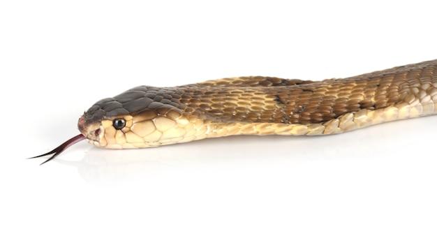 Cabeça e língua de cobra