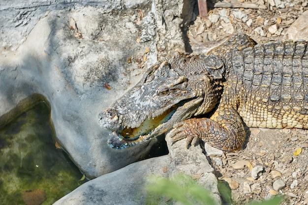 Cabeça e meio corpo de jacaré ou crocodilo