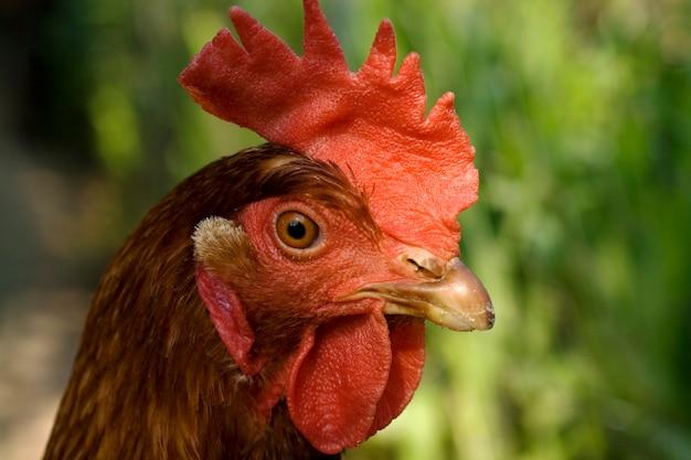 Cabeça galinha