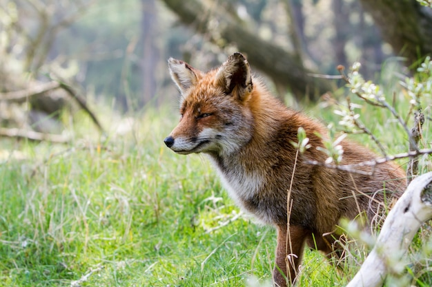 Cabeça raposa