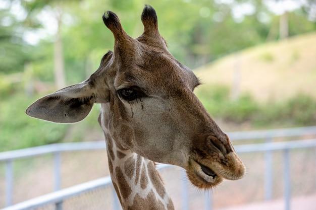 Cabeça, tiro, girafa, jardim zoológico, tailandia