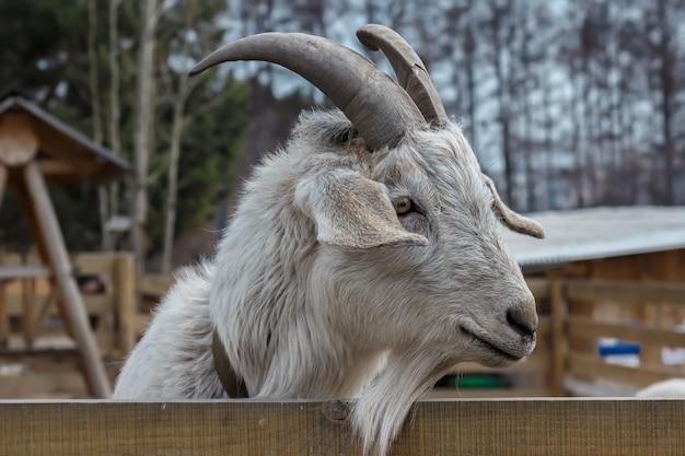 Cabra adulta com os chifres que estão no aviário atrás de uma cerca de madeira.