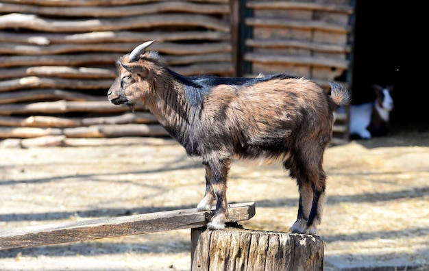 Cabra, animal