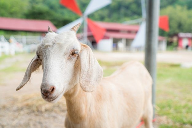 Cabra bebê em uma fazenda