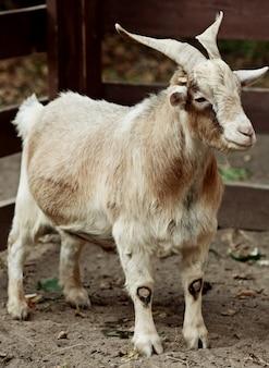 Cabra bege