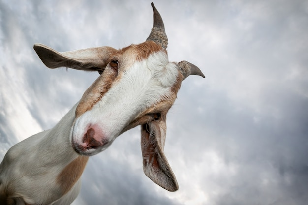 Cabra bonita com grandes chifres em um fundo do céu.