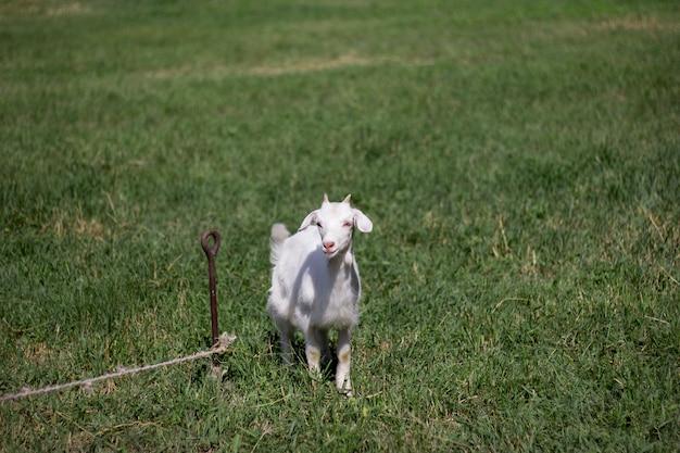 Cabra branca bebê pastando em um prado verde