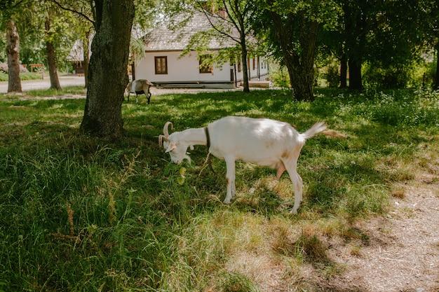 Cabra branca come grama