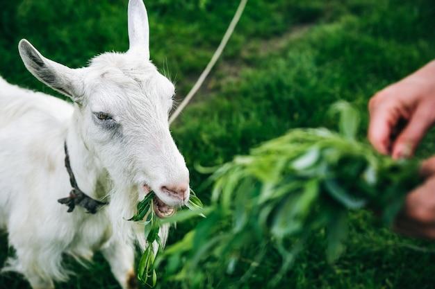 Cabra branca comendo salgueiro. a mulher está alimentando animais domésticos na natureza.