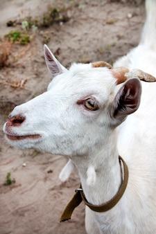 Cabra branca jovem bonita