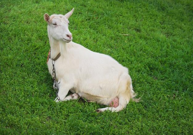 Cabra branca na grama verde da aldeia na primavera