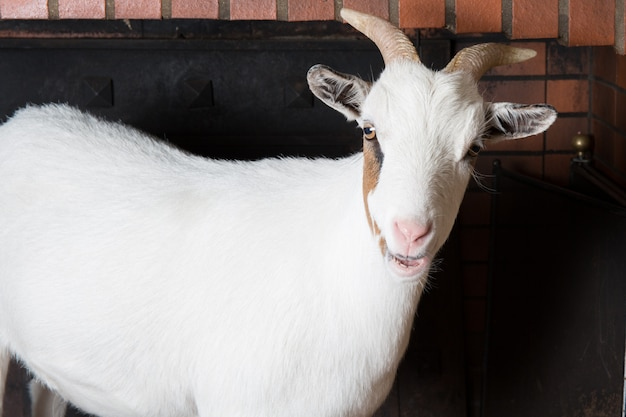 Cabra branca na lareira em casa