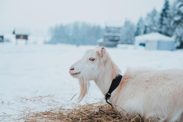 Cabra branca na neve na vila