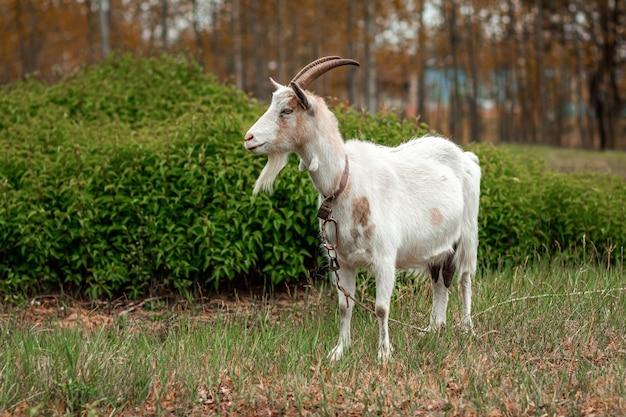 Cabra branca no pasto, num contexto de vegetação.