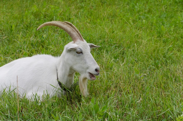 Cabra branca, sentado na grama alta. cabra pastando no quintal. cabras e grama verde suculenta