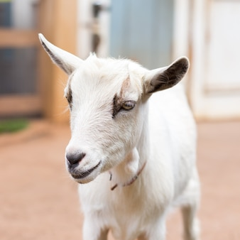 Cabra branca