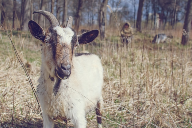 Cabra com chifres, branco e marrom cabra na cabeça e no pescoço, cabra no campo.