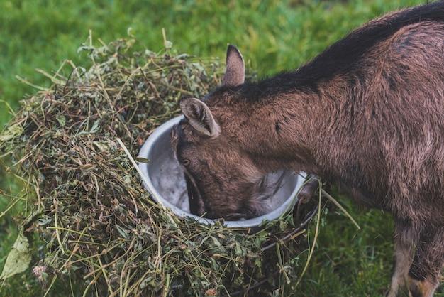 Cabra com comida da tigela