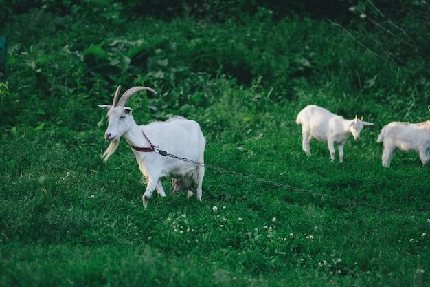 Cabra com seus filhotes na fazenda. família de uma mãe e seus filhos