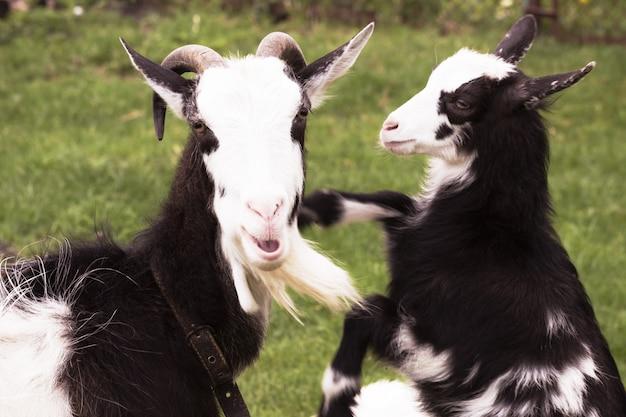 Cabra com uma cabra-kiddy na natureza.