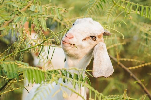 Cabra, comendo grama no prado verde