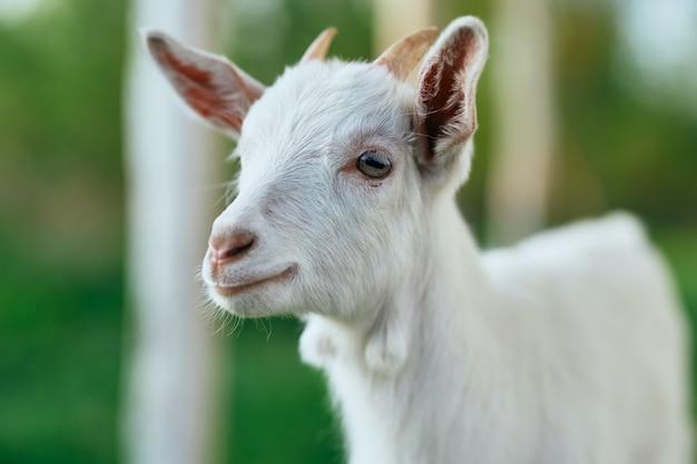 Cabra, criança, ao ar livre