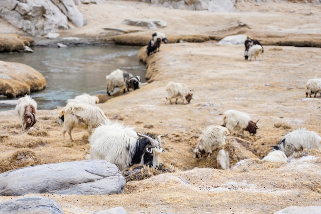Cabra da montanha de pashmina na paisagem highland do clima alpino em leh ladakh, india
