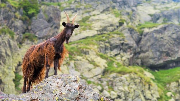 Cabra da montanha nos alpes italianos