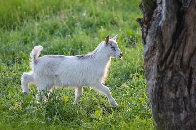 Cabra de bebê lindo no prado rural