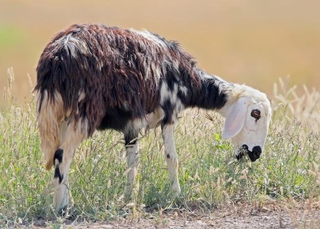 Cabra descolada do meio-oeste comendo grama em pose engraçada