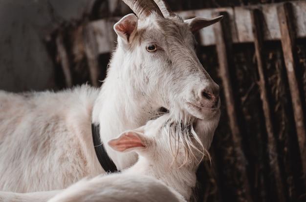 Cabra doméstica e cabras bebê fofo em uma costa. cabras adultas e jovens no celeiro. mãe e bebê cabras abraçando.