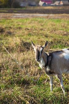 Cabra domesticada em um pasto